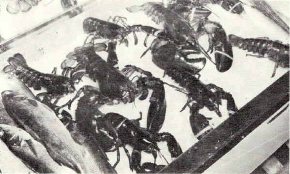 "Fresh Maine lobsters rest dreamily on a bed of ice, wiggling a feeler now and then, waiting tiII the customer says ""I want that one."" Then will his face be red!; Photo from The Delaware County Advocate, July 1942"